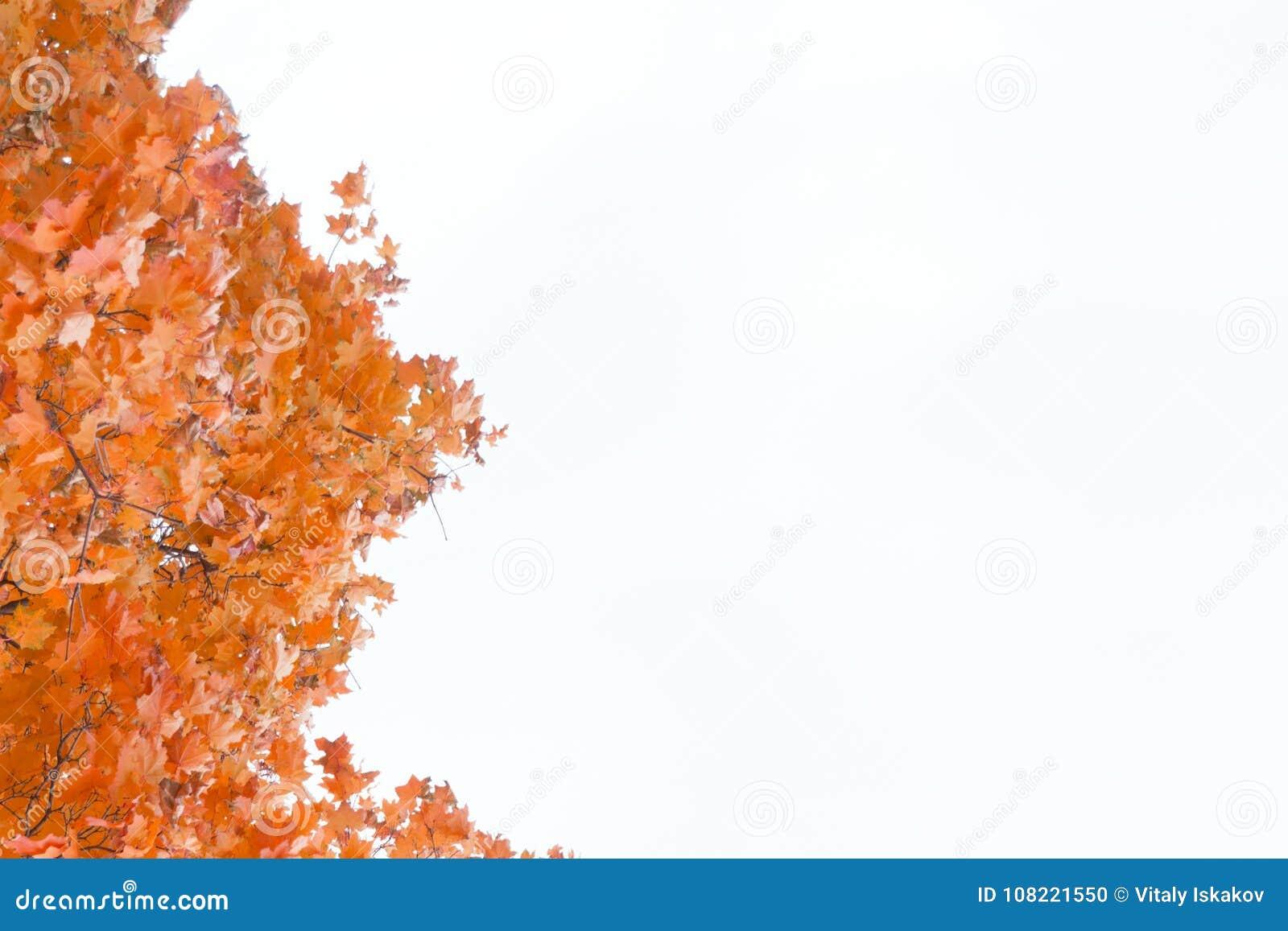 Красочная рамка кленовых листов осени белизна изолированная предпосылкой