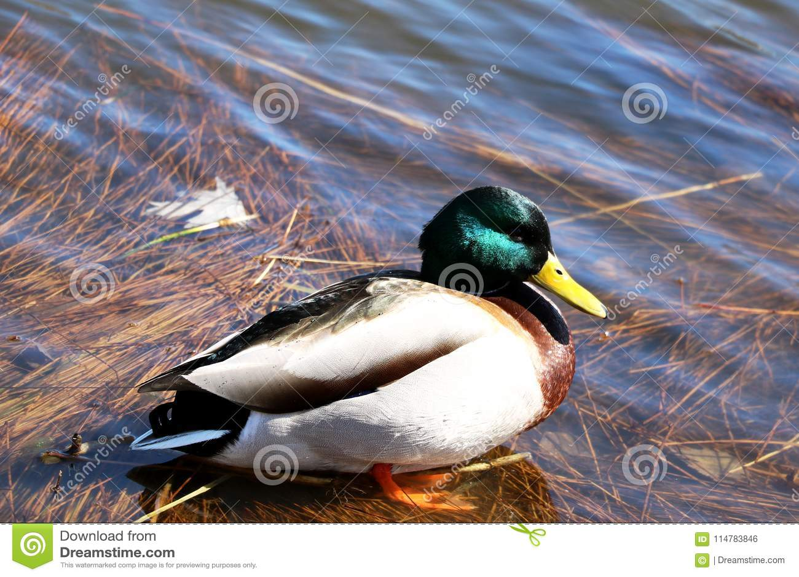 Красочная утка на береге озера