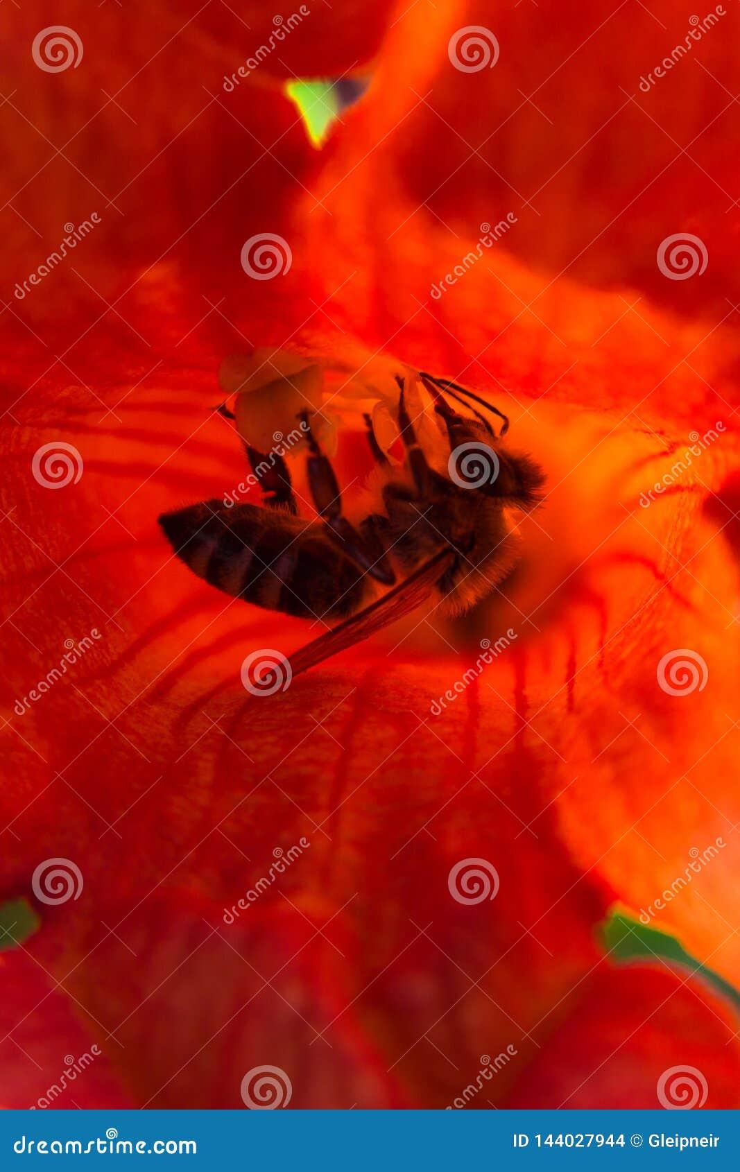 Красочное сердце крупного плана цветка campsis с пчелой внутрь