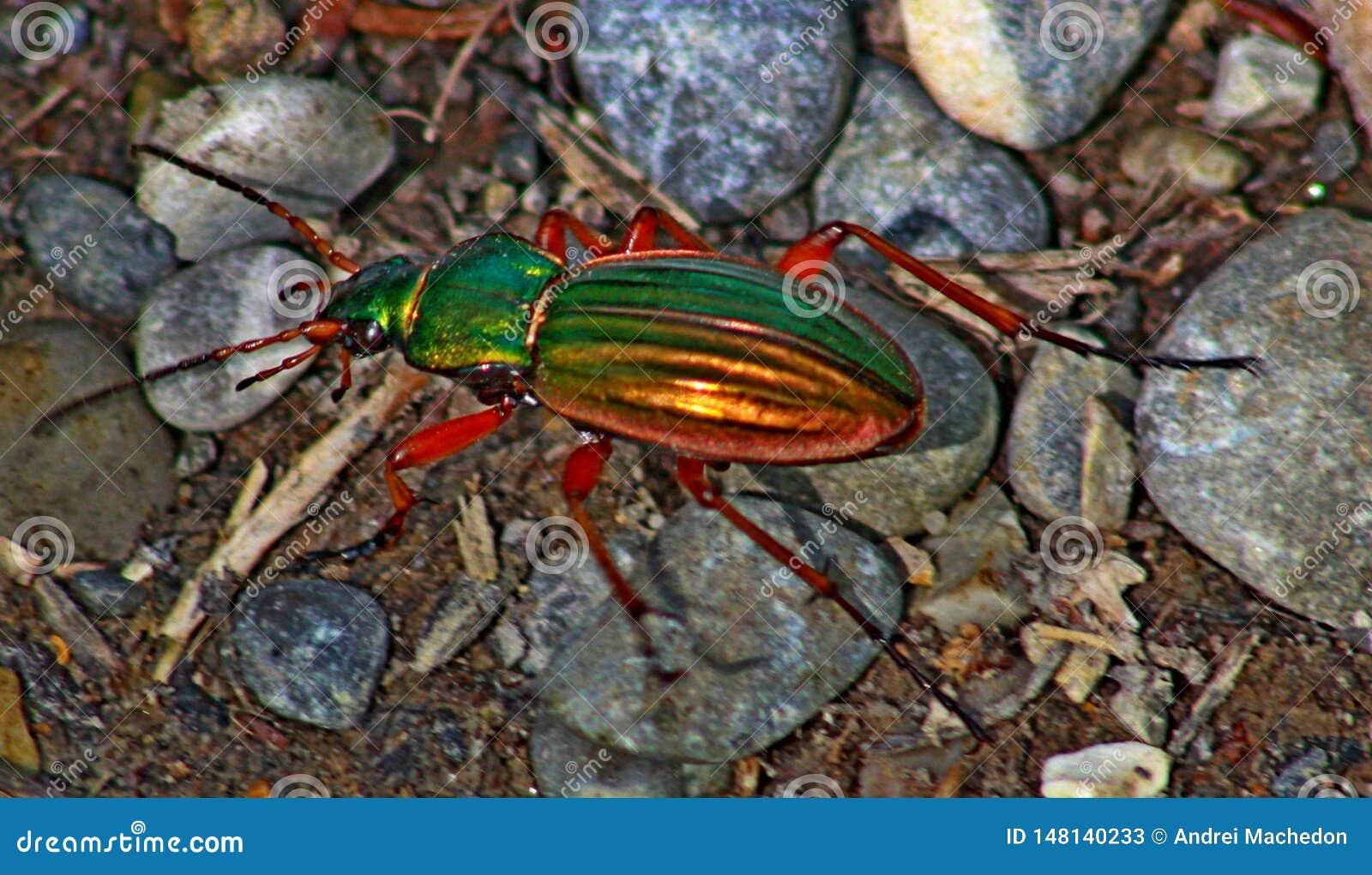 Красочный жук пересекая небольшой путь леса