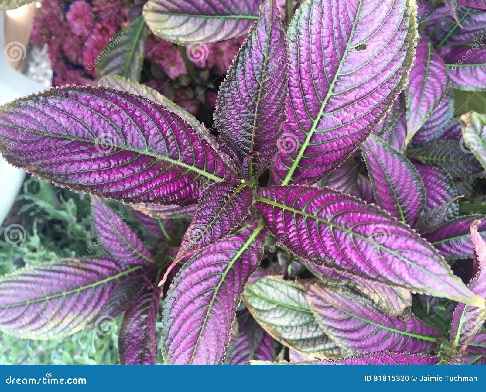 красочный персидский завод экрана в цветени