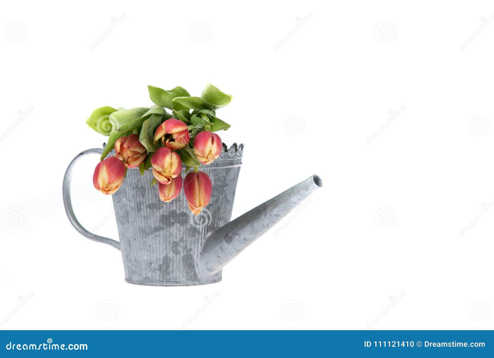 Красочный тюльпан цветет в старом ove моча чонсервной банкы металла