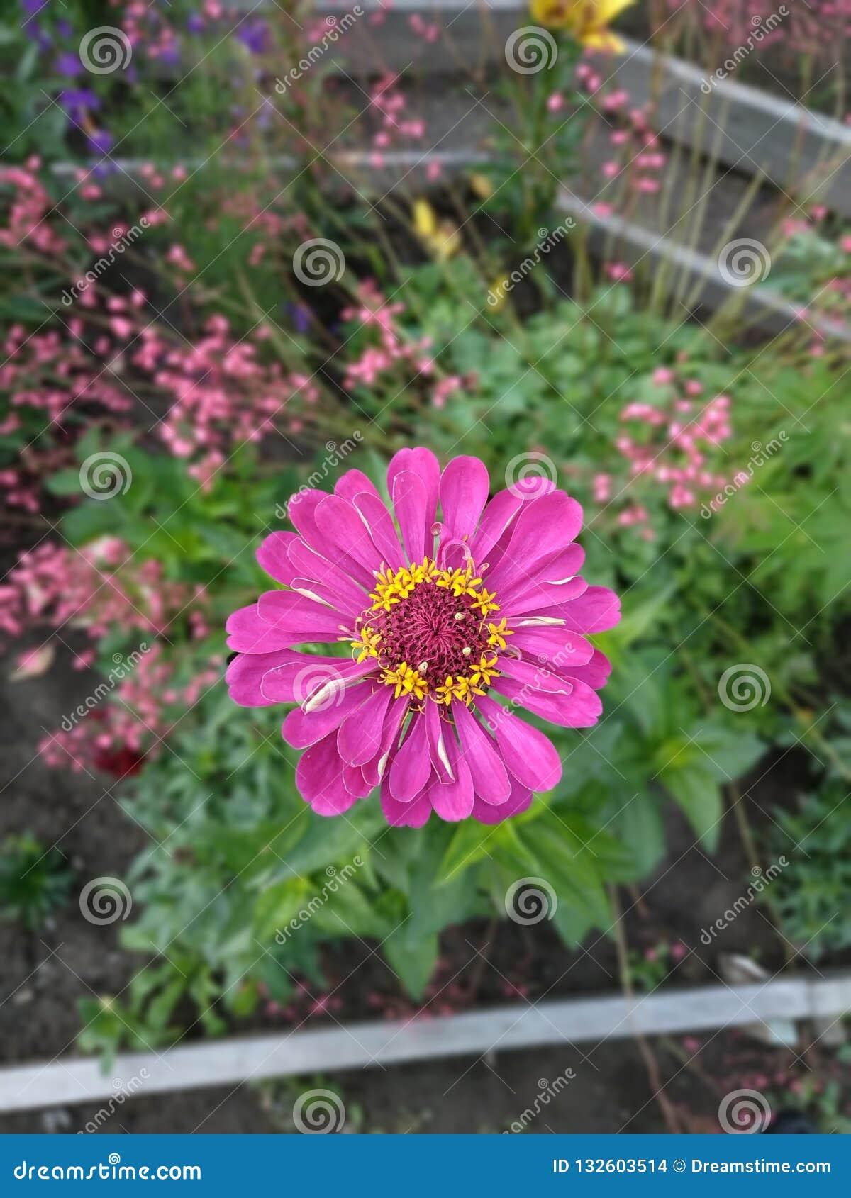 Красочный zinnia цветка