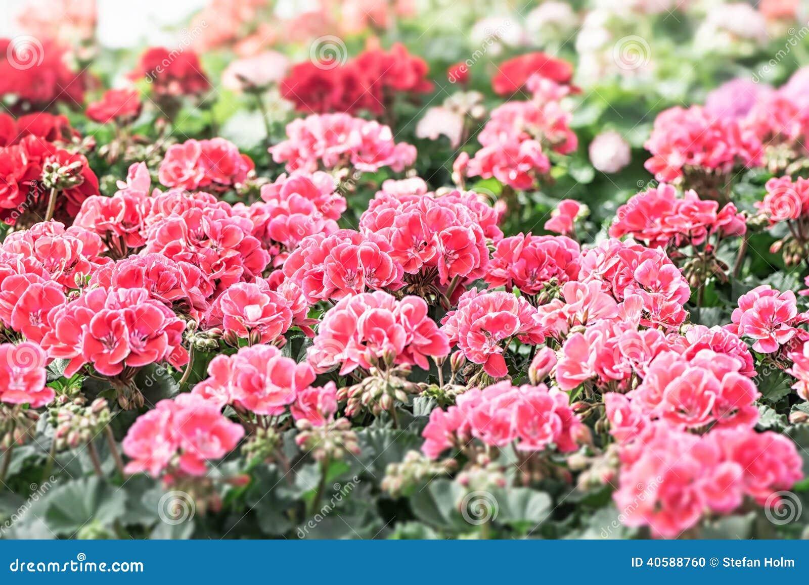 Кровать королевских цветков пеларгонии
