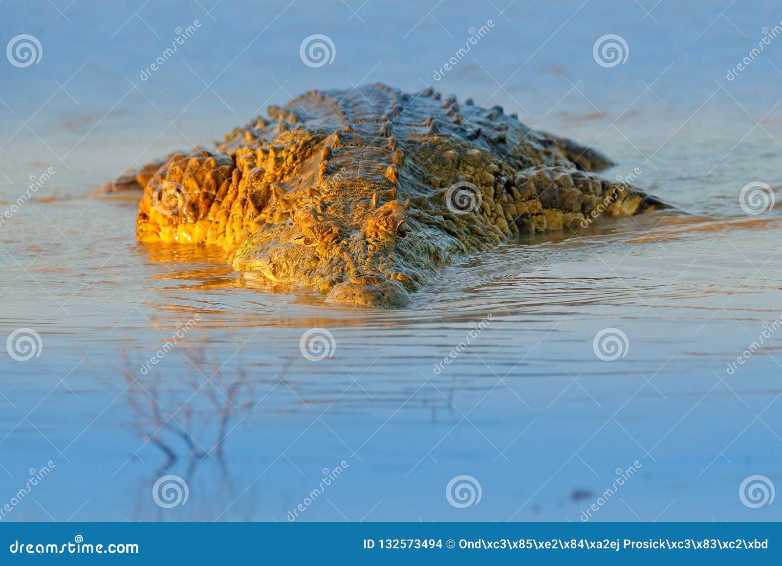 Крокодил Нила, niloticus крокодила, с открытым намордником, в речном береге, перепад Okavango, Moremi, Ботсвана Сцена живой приро