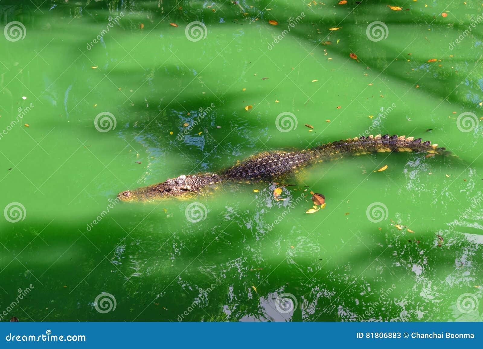 Крокодил floting