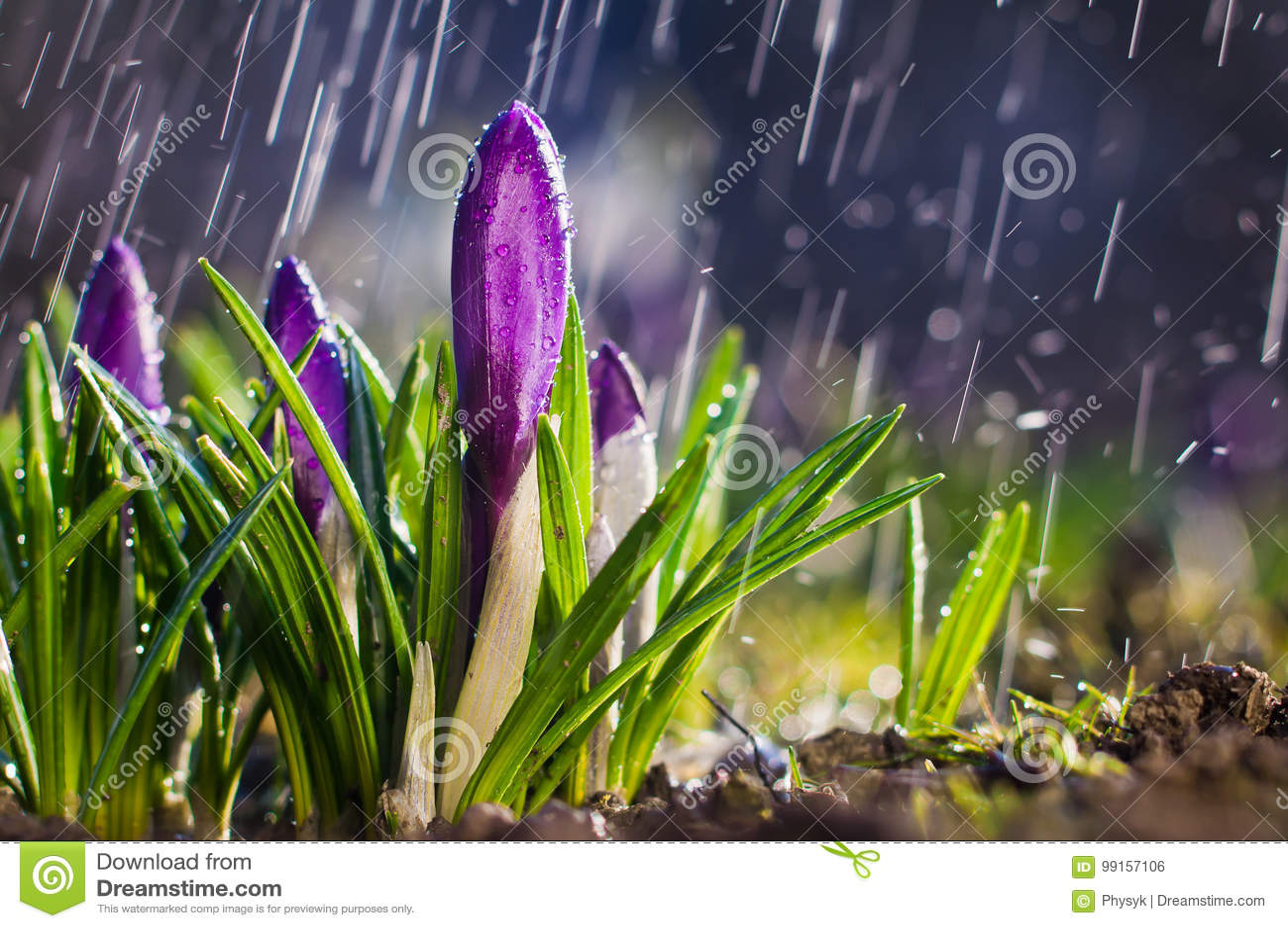 Крокусы цветка весны голубые фиолетовые на солнечный день в брызге