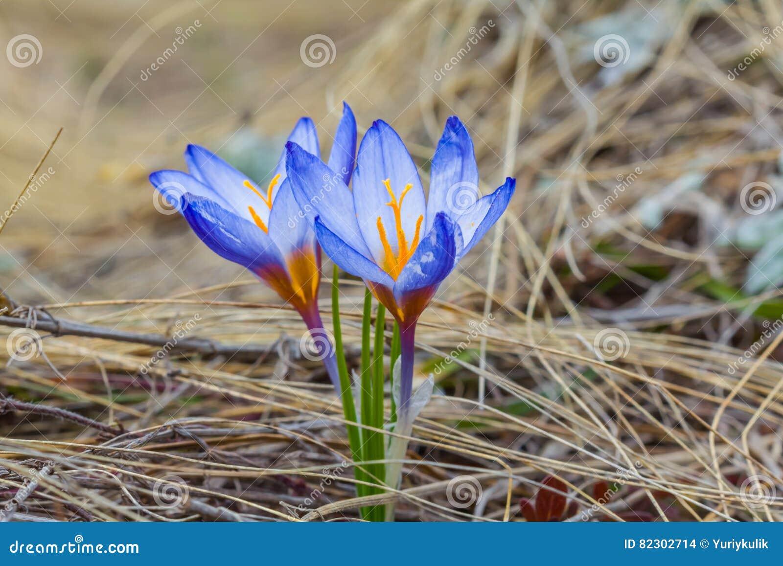 Крокус сини весны крупного плана