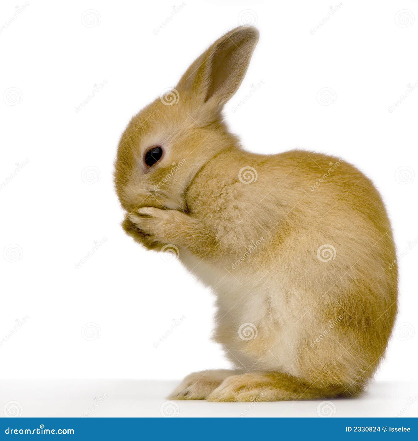 кролик застенчивый