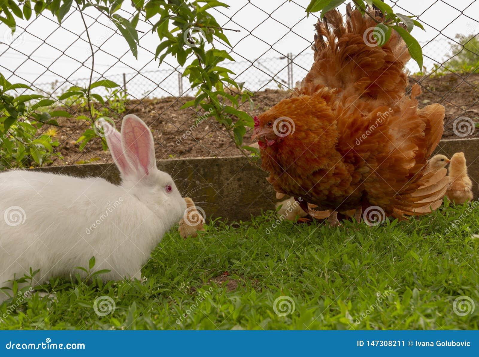 Кролик защитительной курицы атакуя в попытке защитить цыпленоки