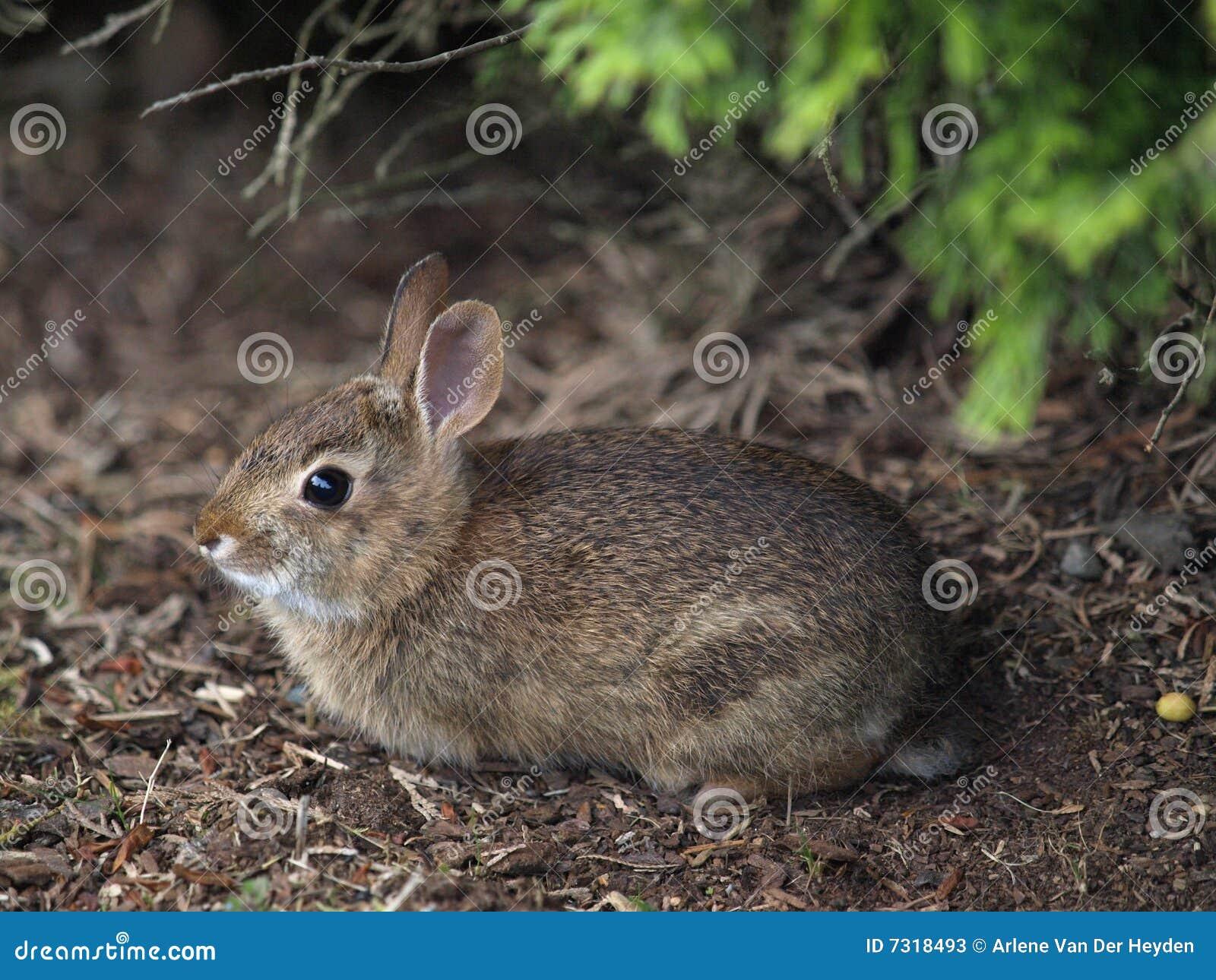 кролик bush