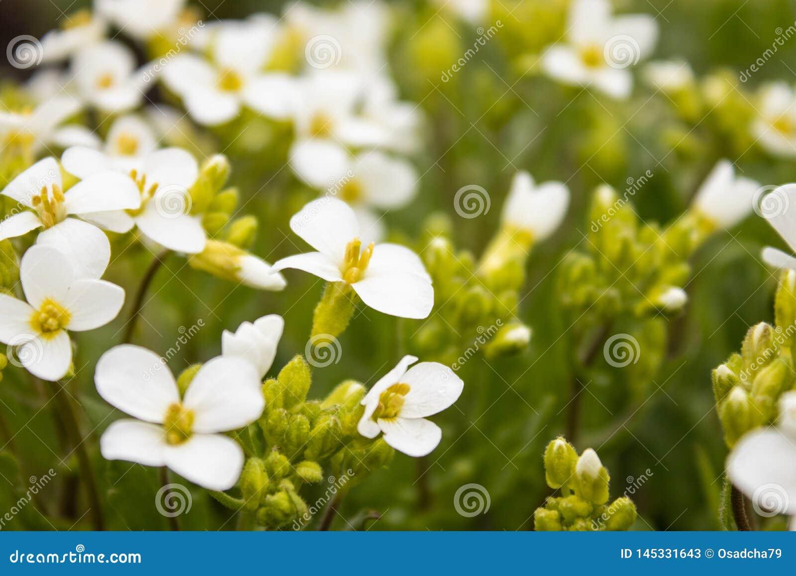 Белые цветки на предпосылке зеленых листьев Крошечные белые цветки весной
