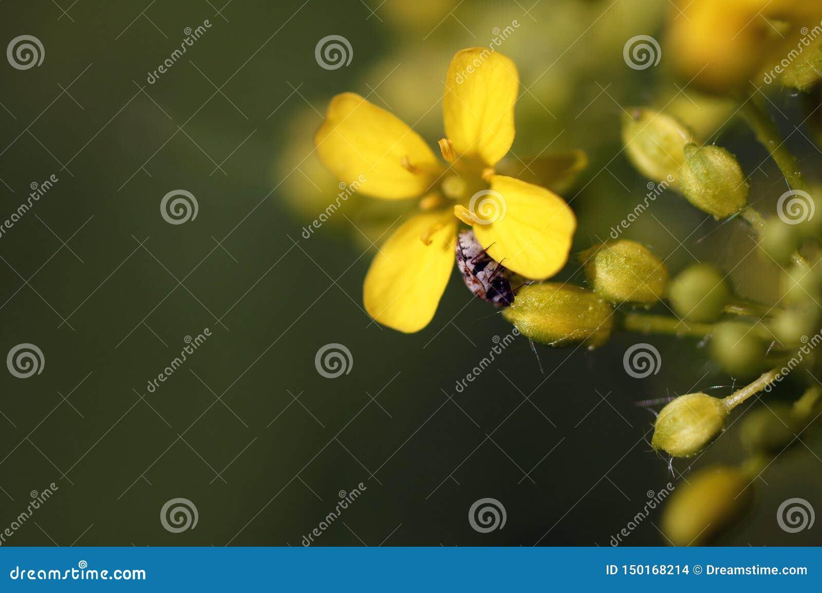 Крошечный жук вползая на маленьком желтом цветке