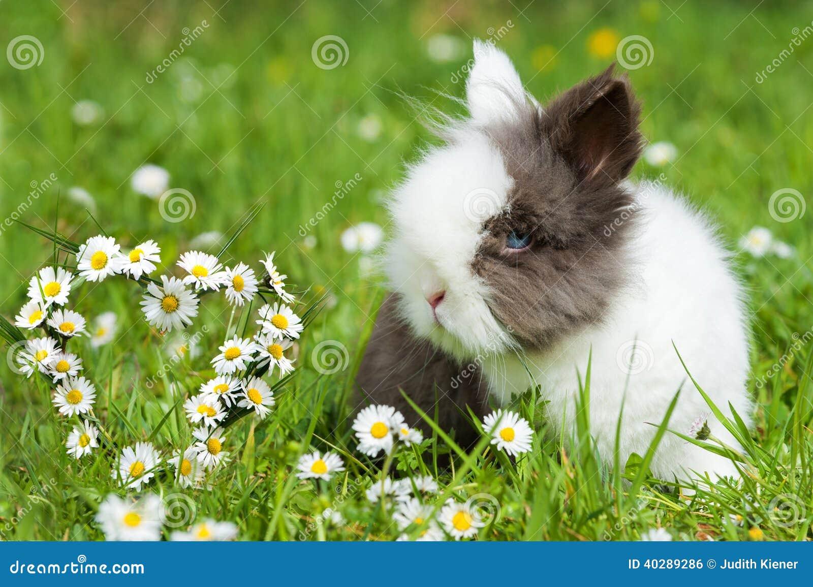 кролик карлика