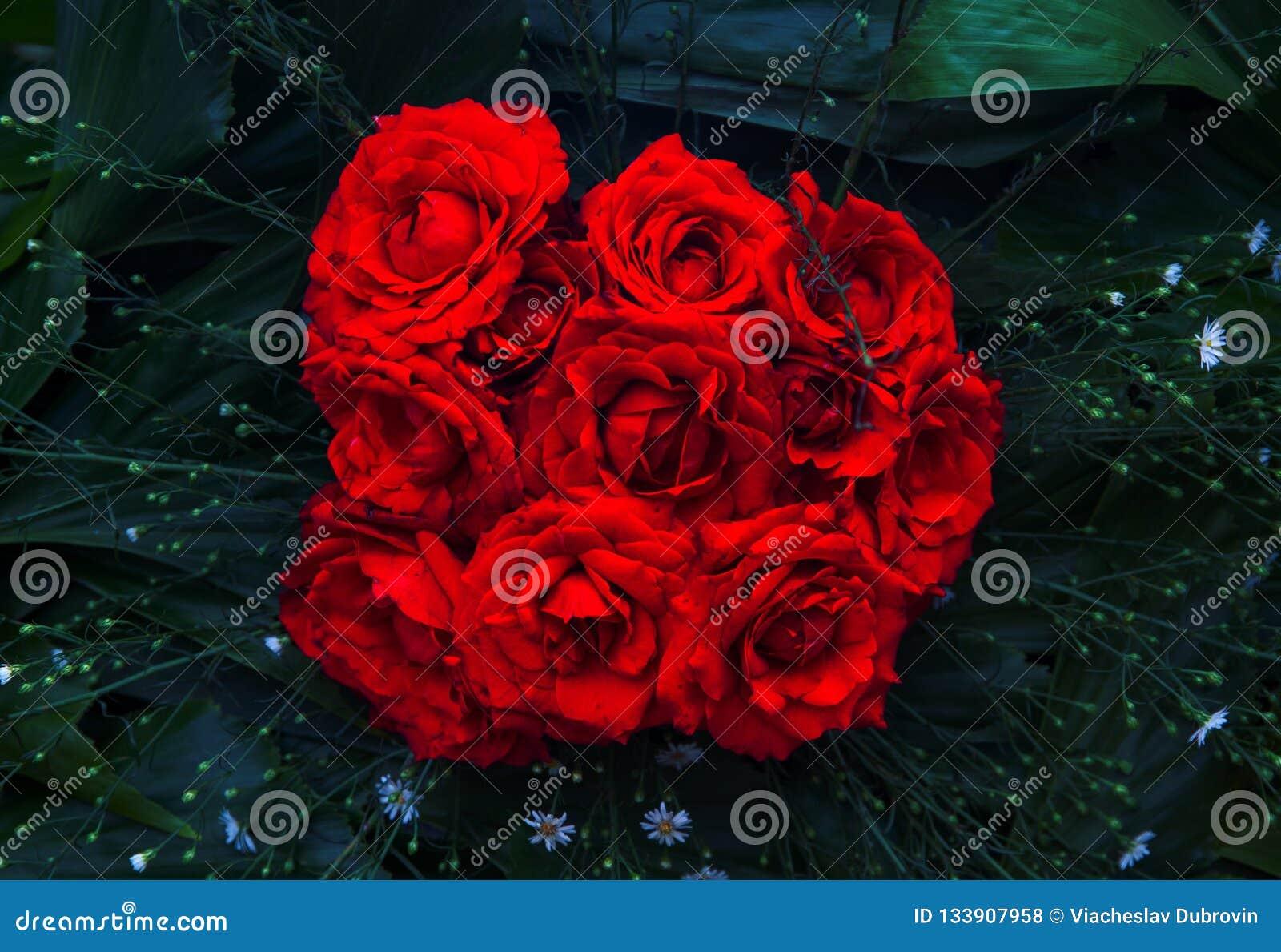 Крупный план букета красной розы Живое флористическое фото текстуры Розовые цветки в зеленых листьях Романтичный шаблон знамени
