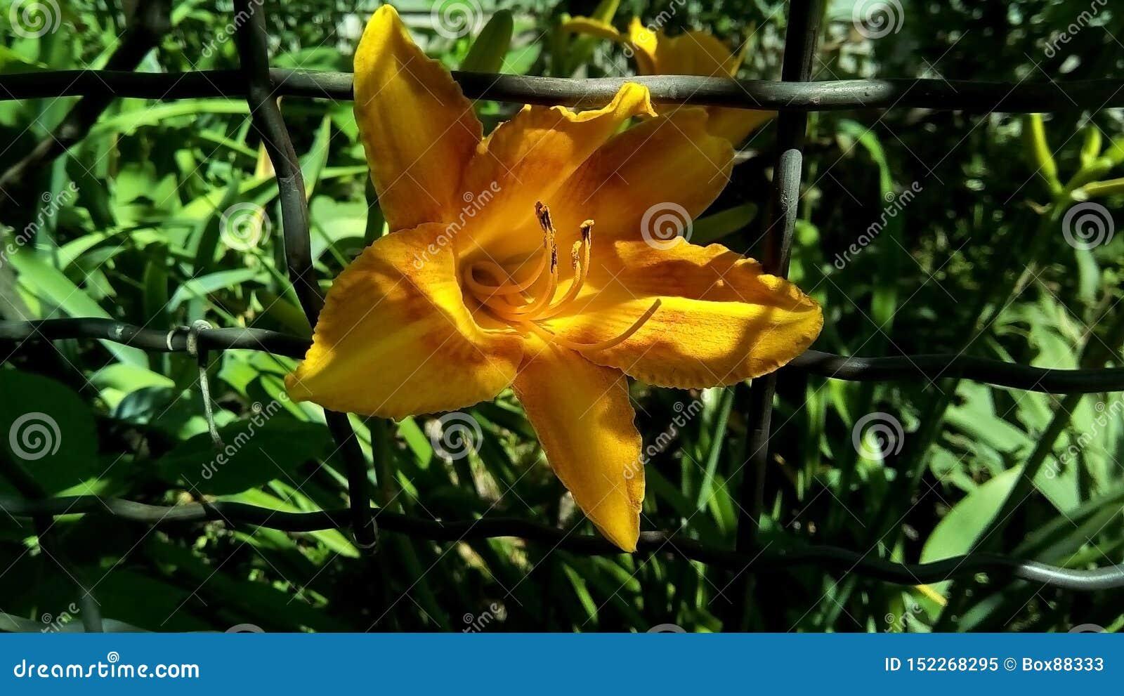 Крупный план желтого цветка лилии в клетке проволочной изгороди