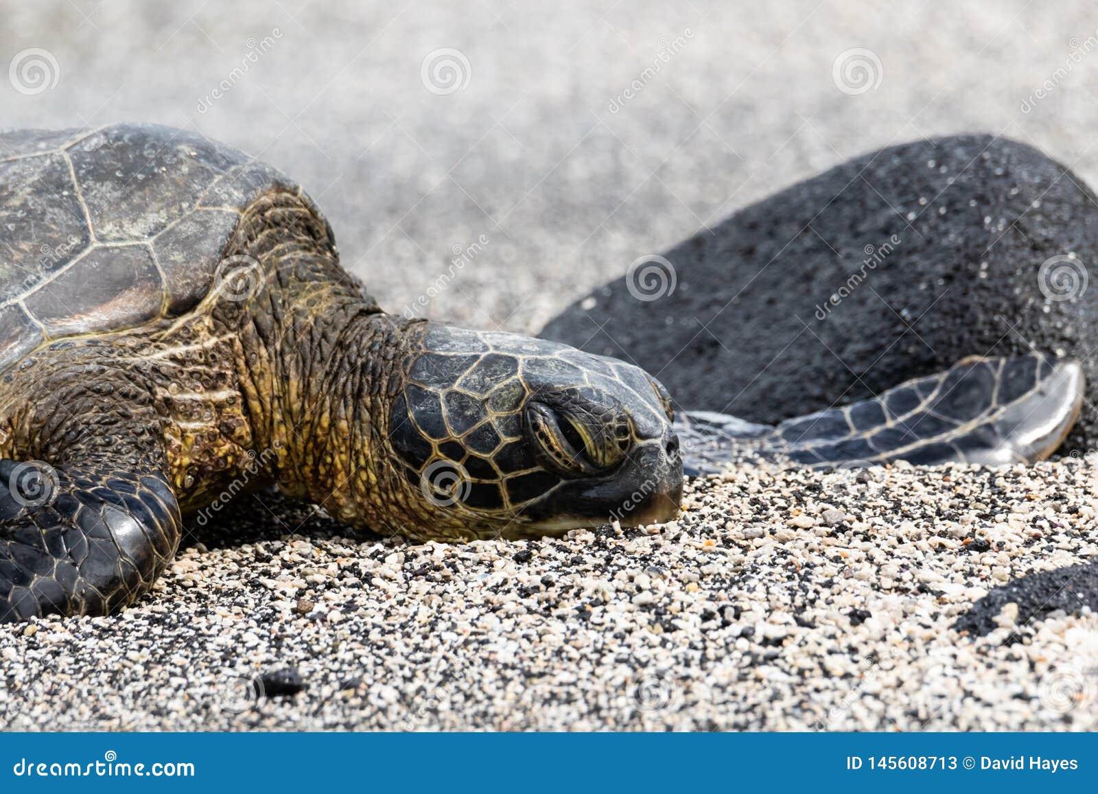 Крупный план, зеленая морская черепаха на черном & белом песке Большой остров, Гаваи