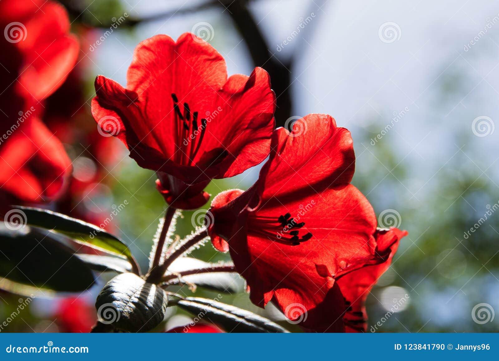 Крупный план красного цветения рододендрона в садах butchart