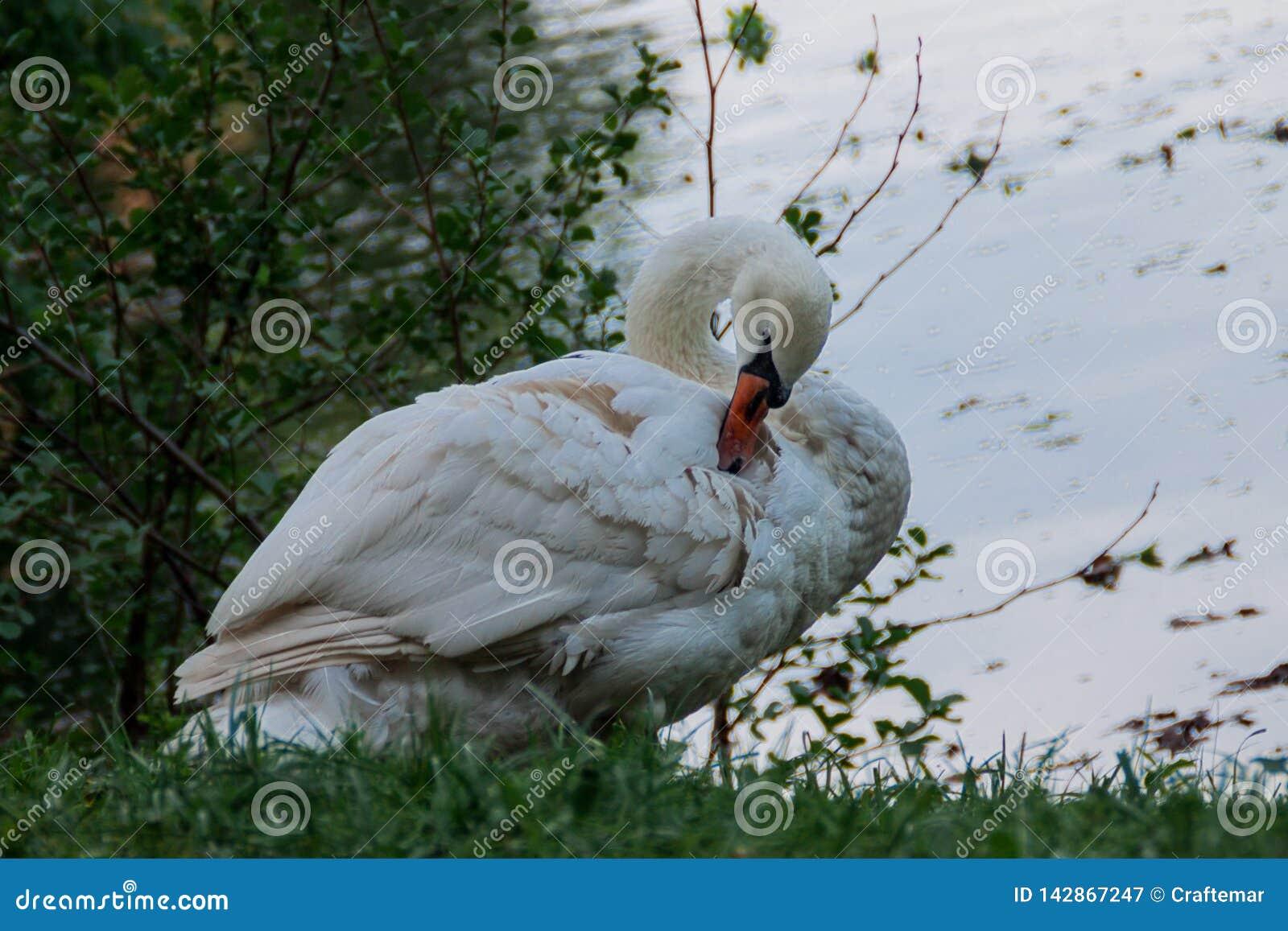 Крупный план лебедя
