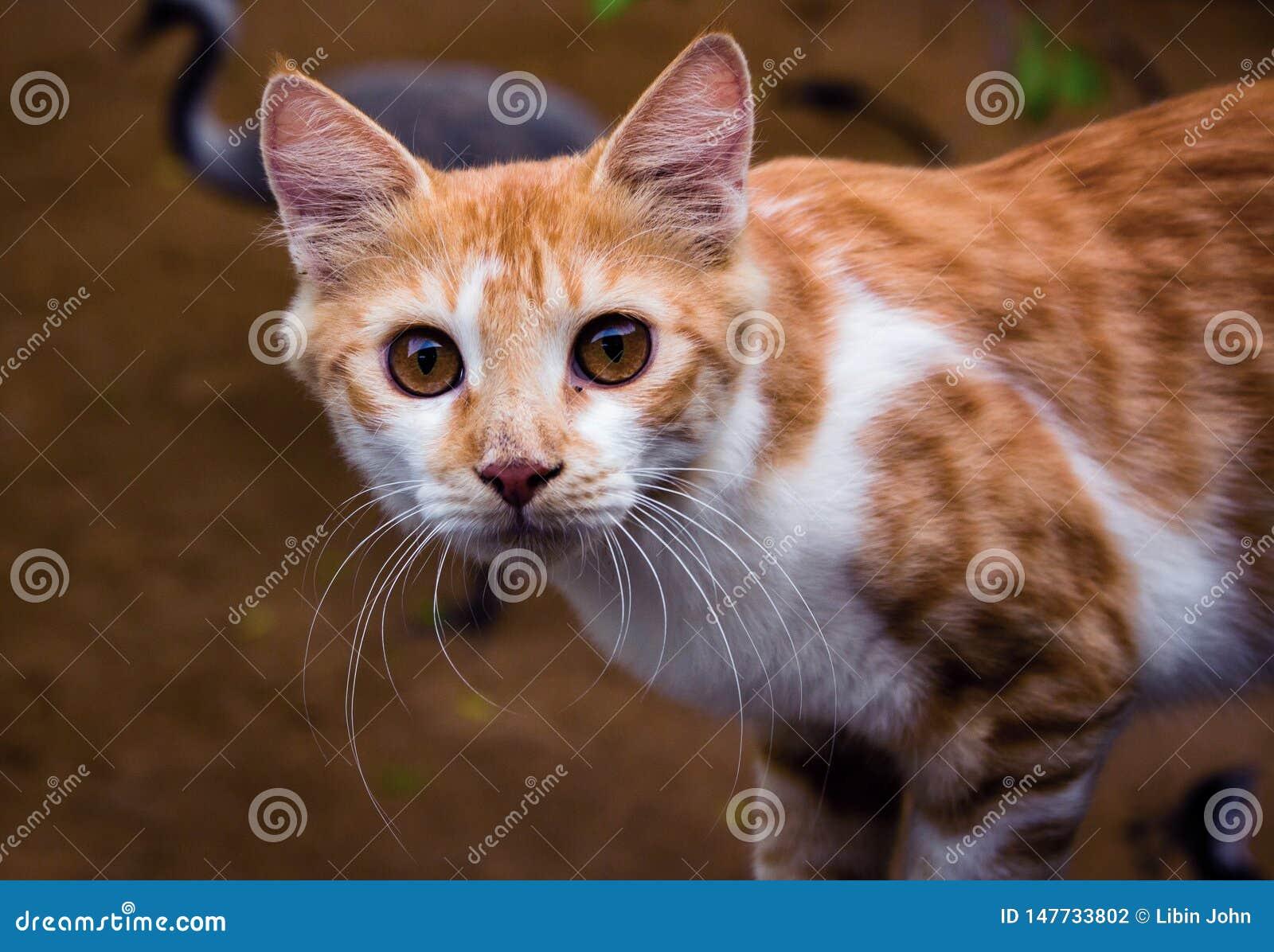Крупный план снятый азиатского кота