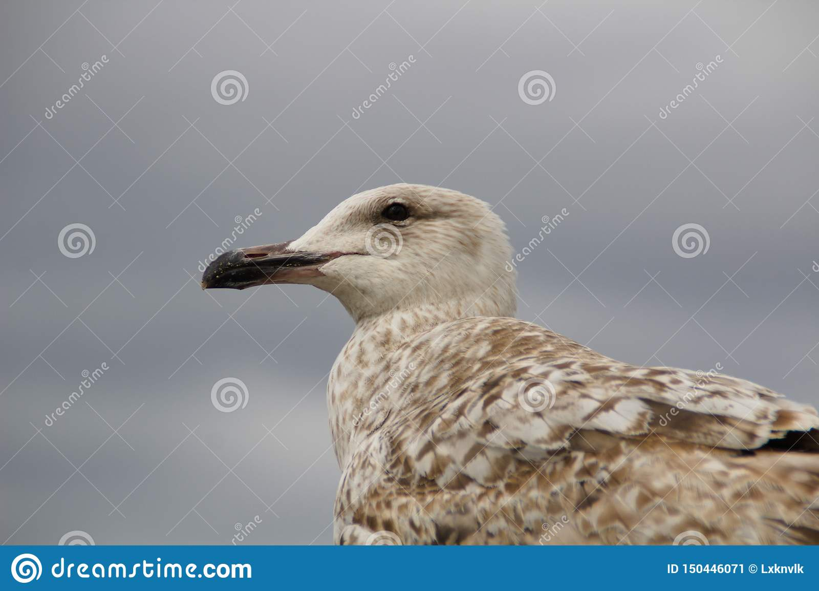Крупный план чайки смотря покинутый запачканный bg
