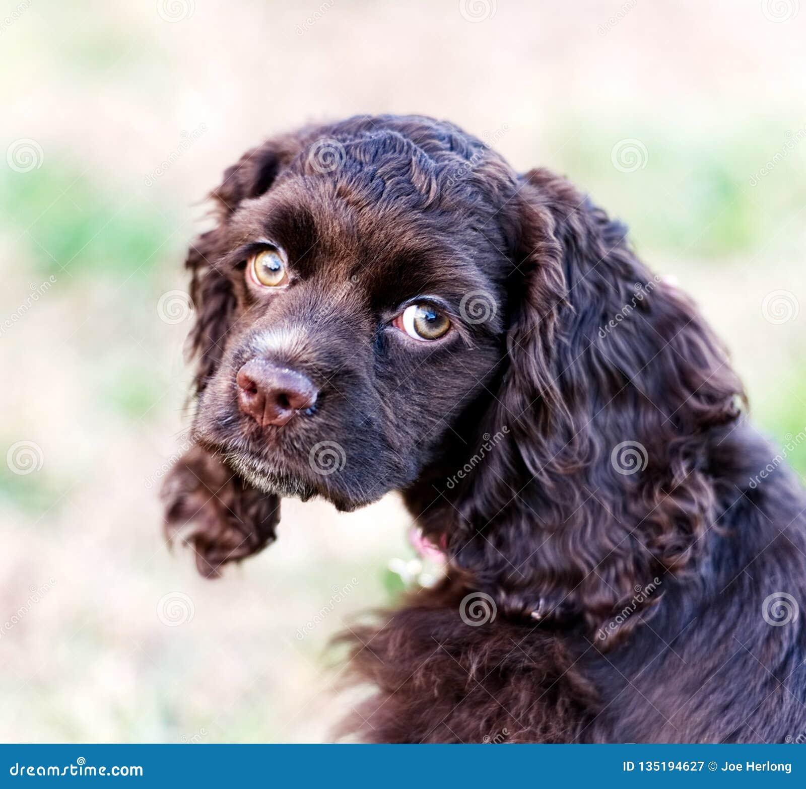 Крупный план щенка spaniel кокерспаниеля шоколада