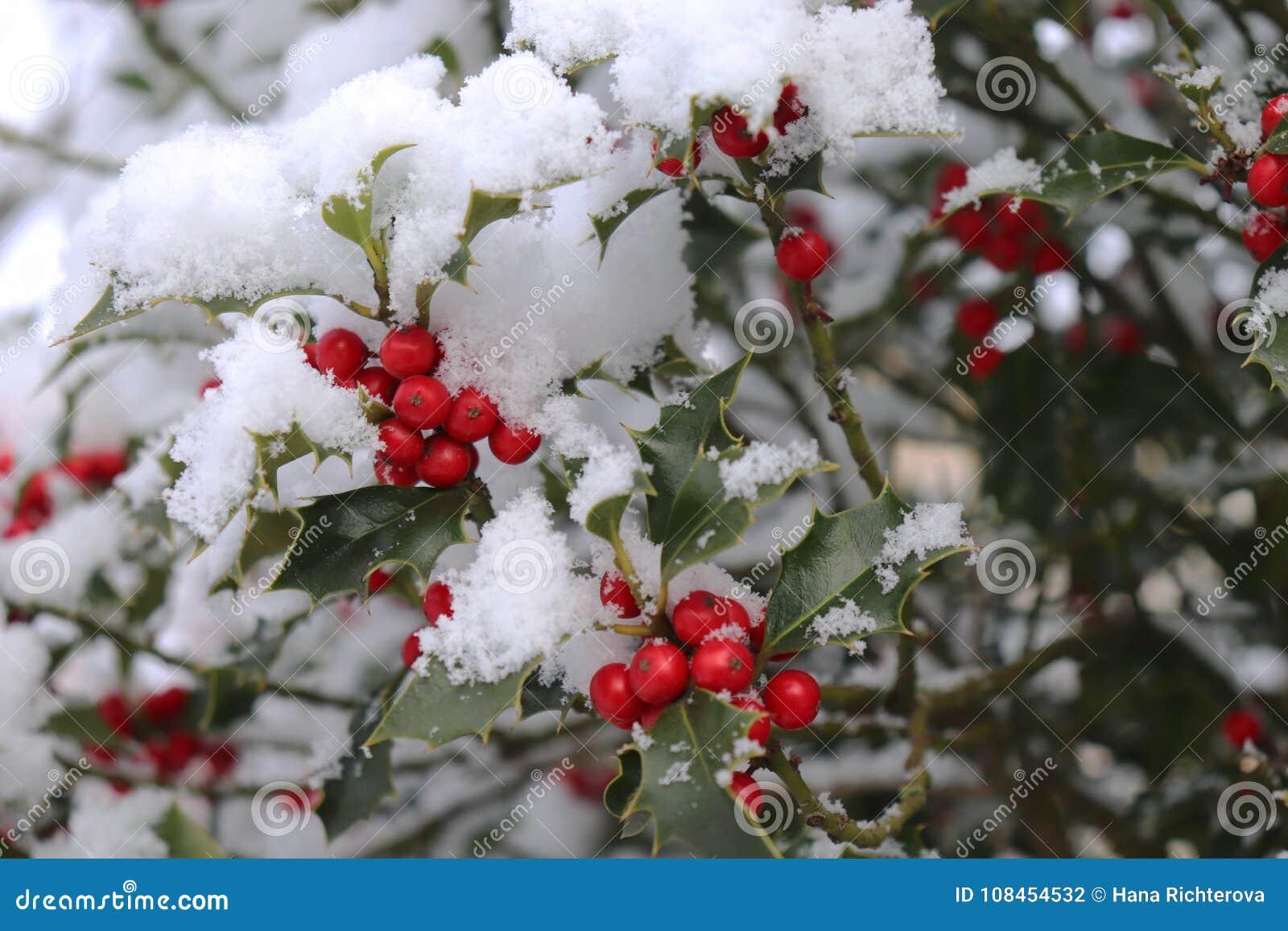 Крупный план ягод и диеза падуба красивых красных выходит на дерево в холодную погоду зимы запачканная предпосылка