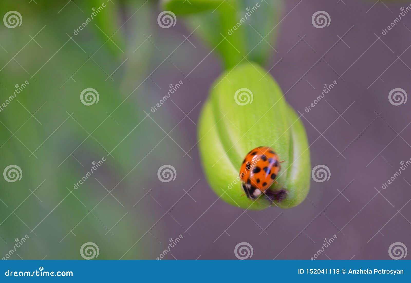 Крупный план ladybug на зеленом fon