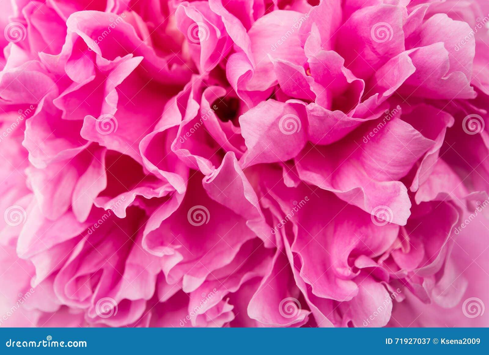 Крупный план красивого розового пиона