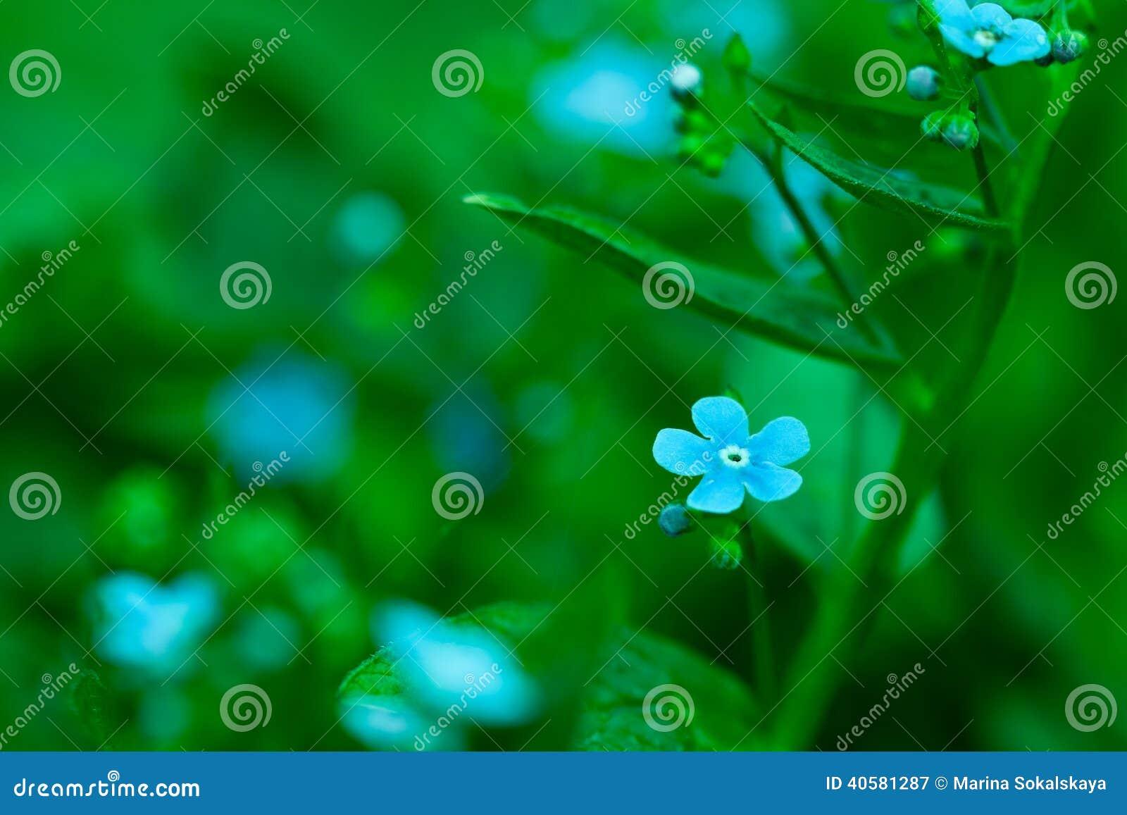 Крупный план цветка незабудки