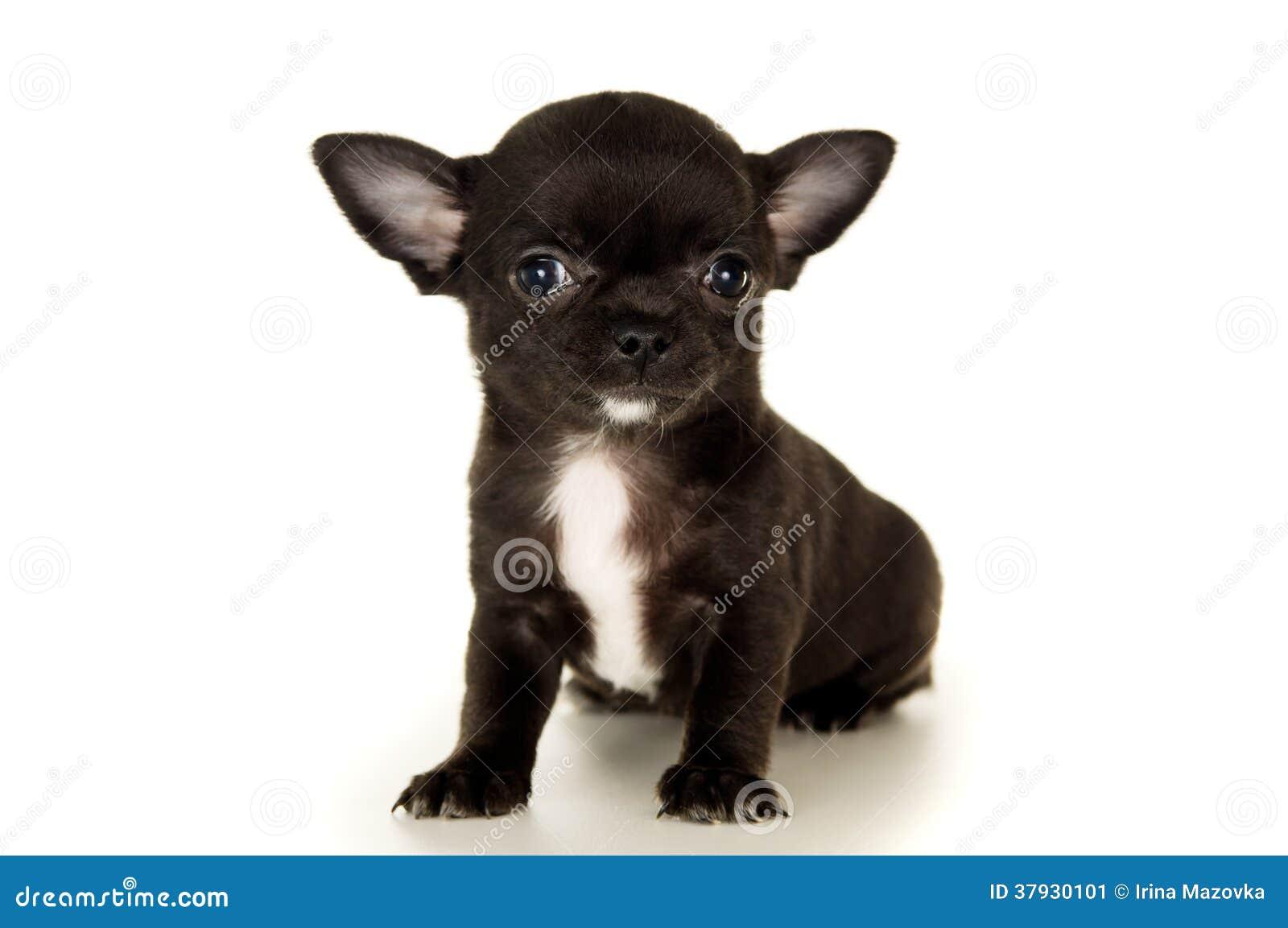 Крупный план черного щенка чихуахуа