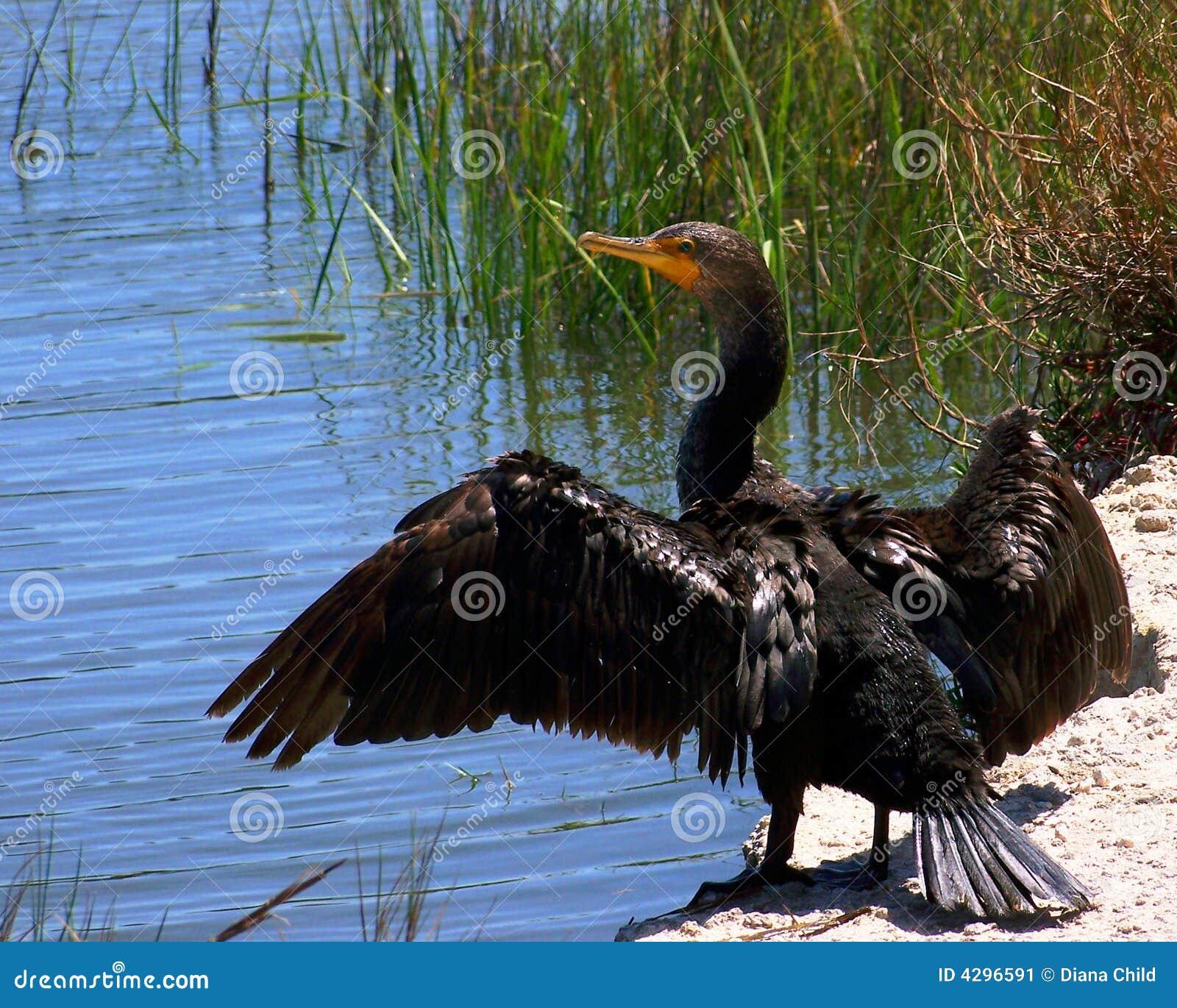 крыла cormorant открытые