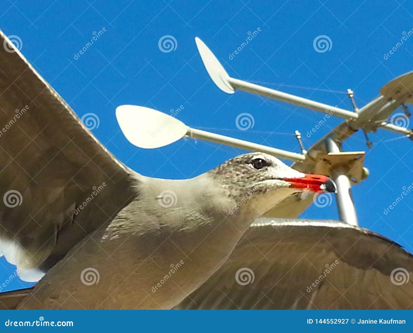 Крылья голубого неба мухы чайки раскрывают витать против лопасти погоды голубого неба