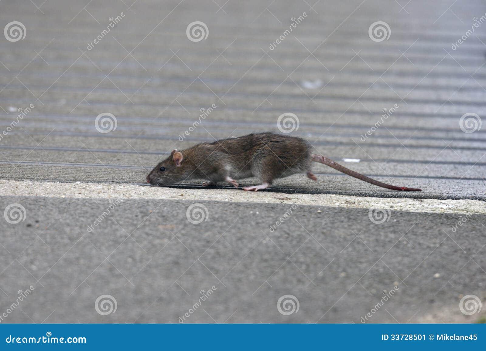 Крыса Брайна, norvegicus rattus