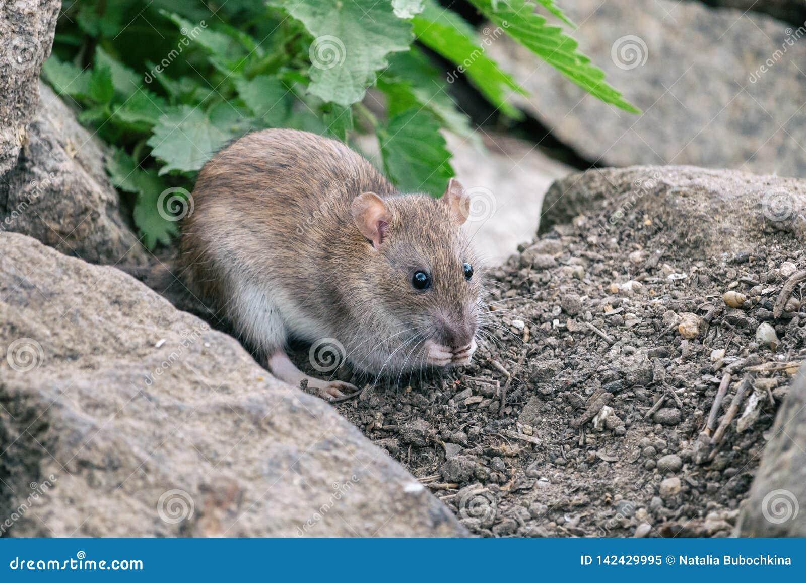 Крыса Брауна сидя на камни с зеленой крапивой в предпосылке