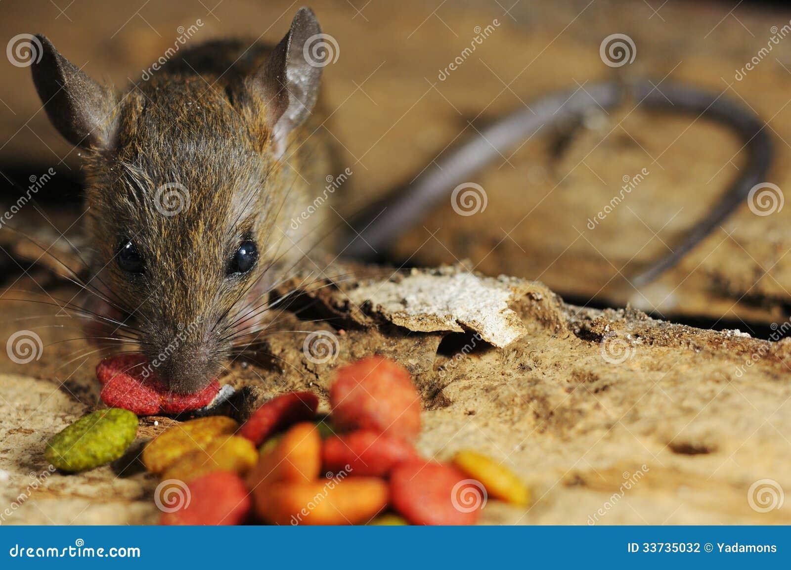Крыса ворует ест питание
