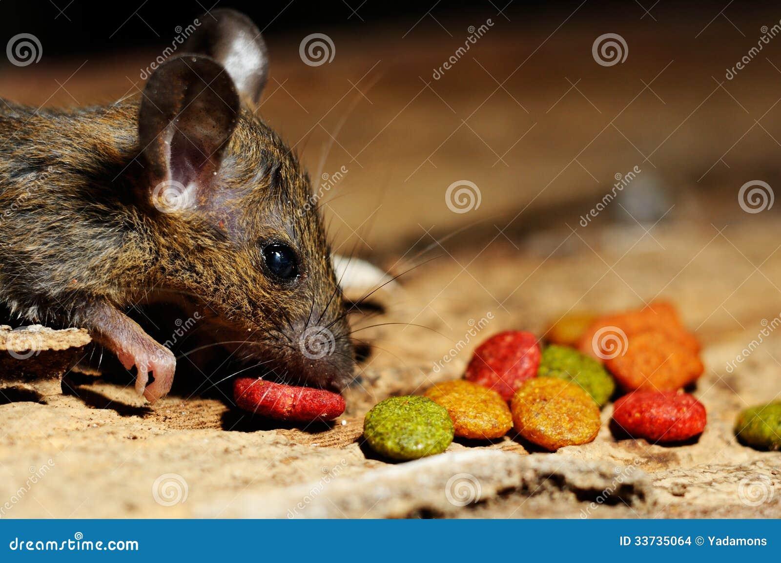 Крыса есть питание