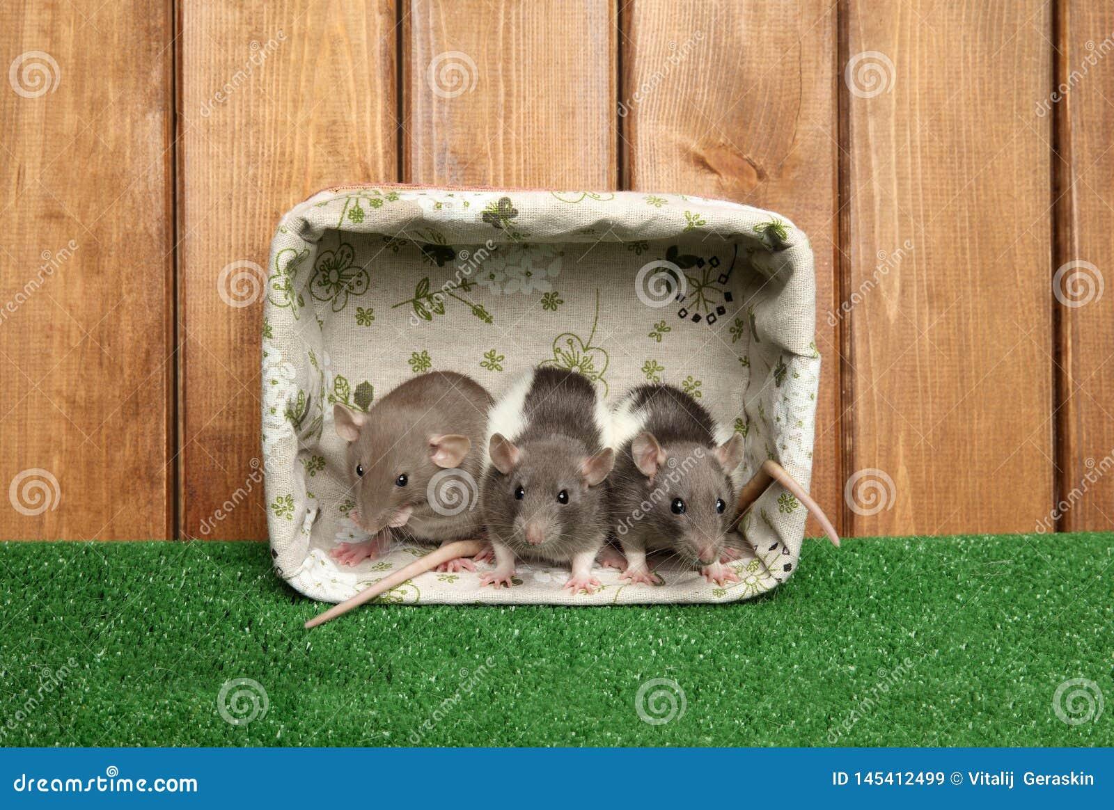 Крысы Dumbo в корзине на деревянной предпосылке