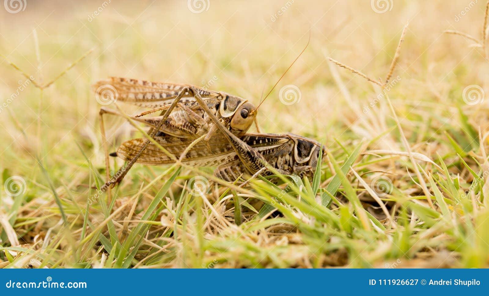 Кузнечик в природе Макрос