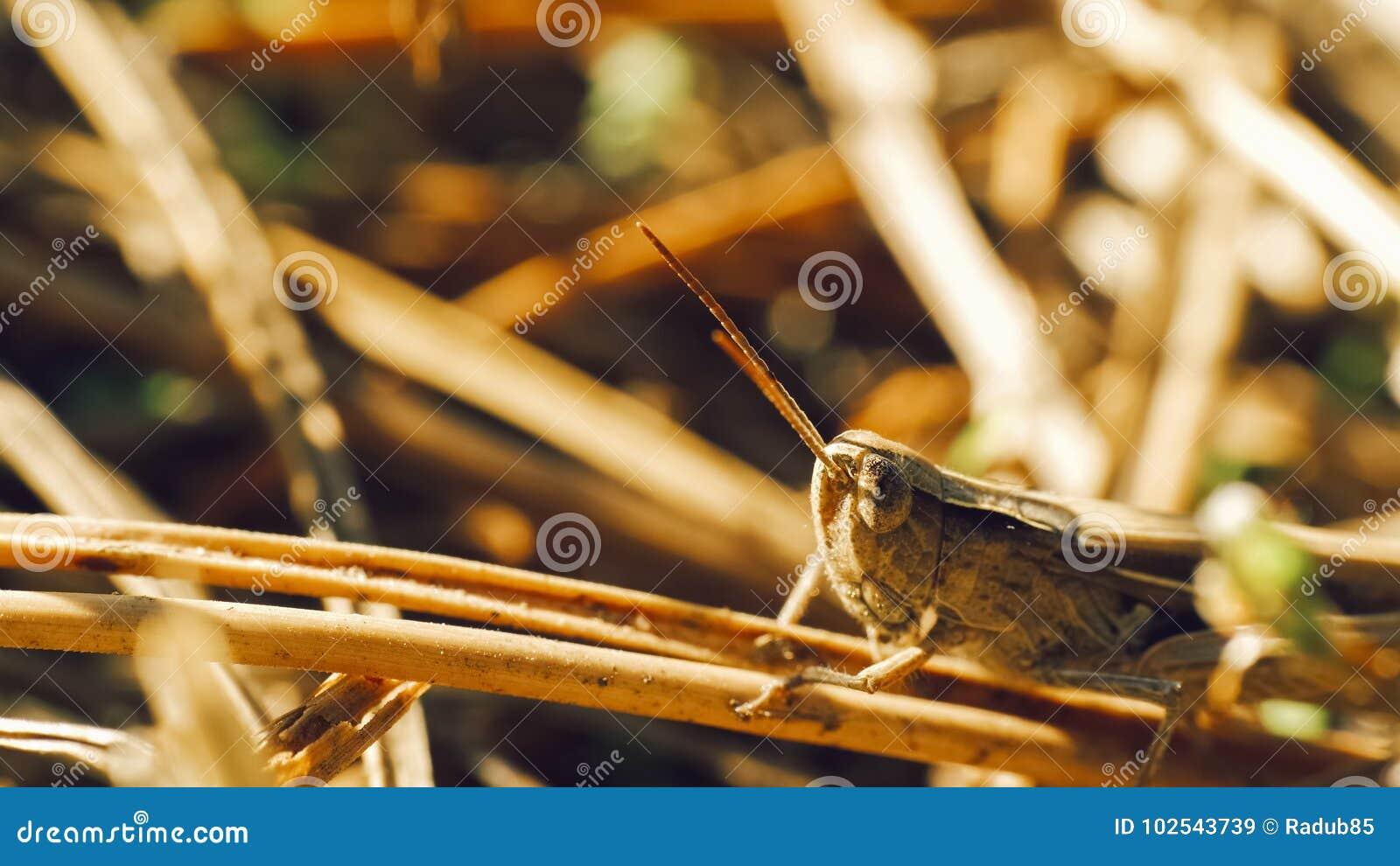 Кузнечик луга сидя в траве