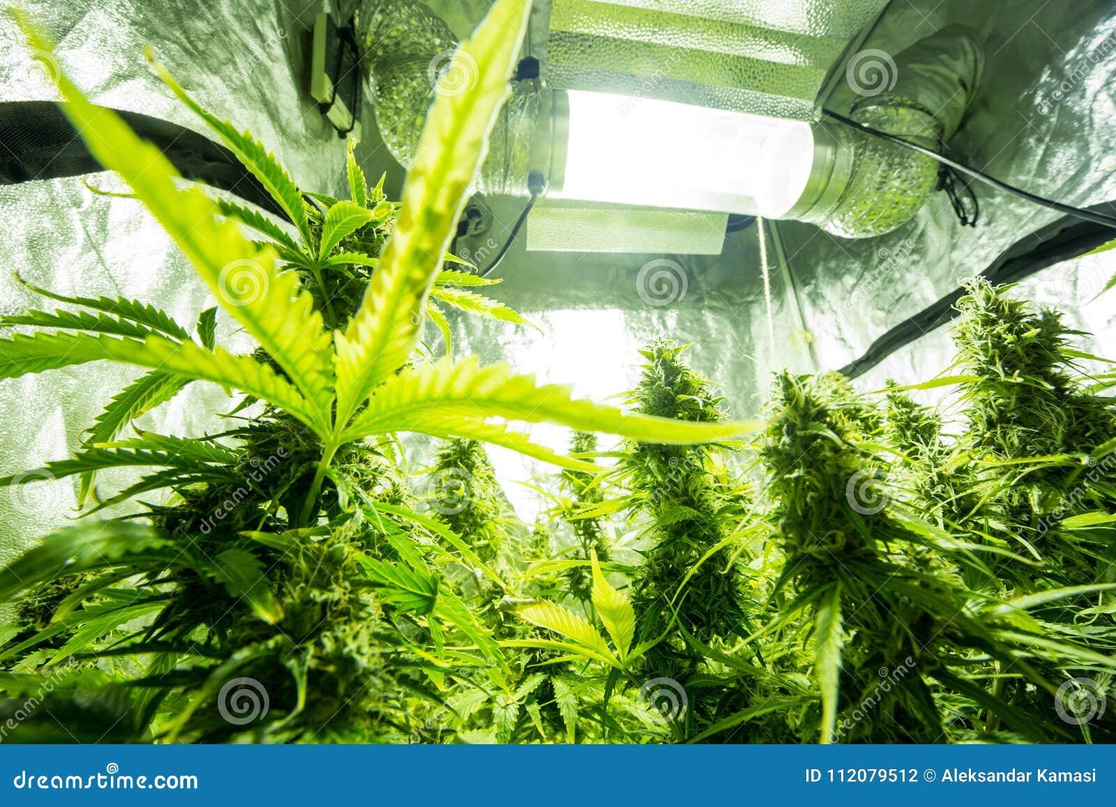 Культивирование конопля курение марихуаны женщинами