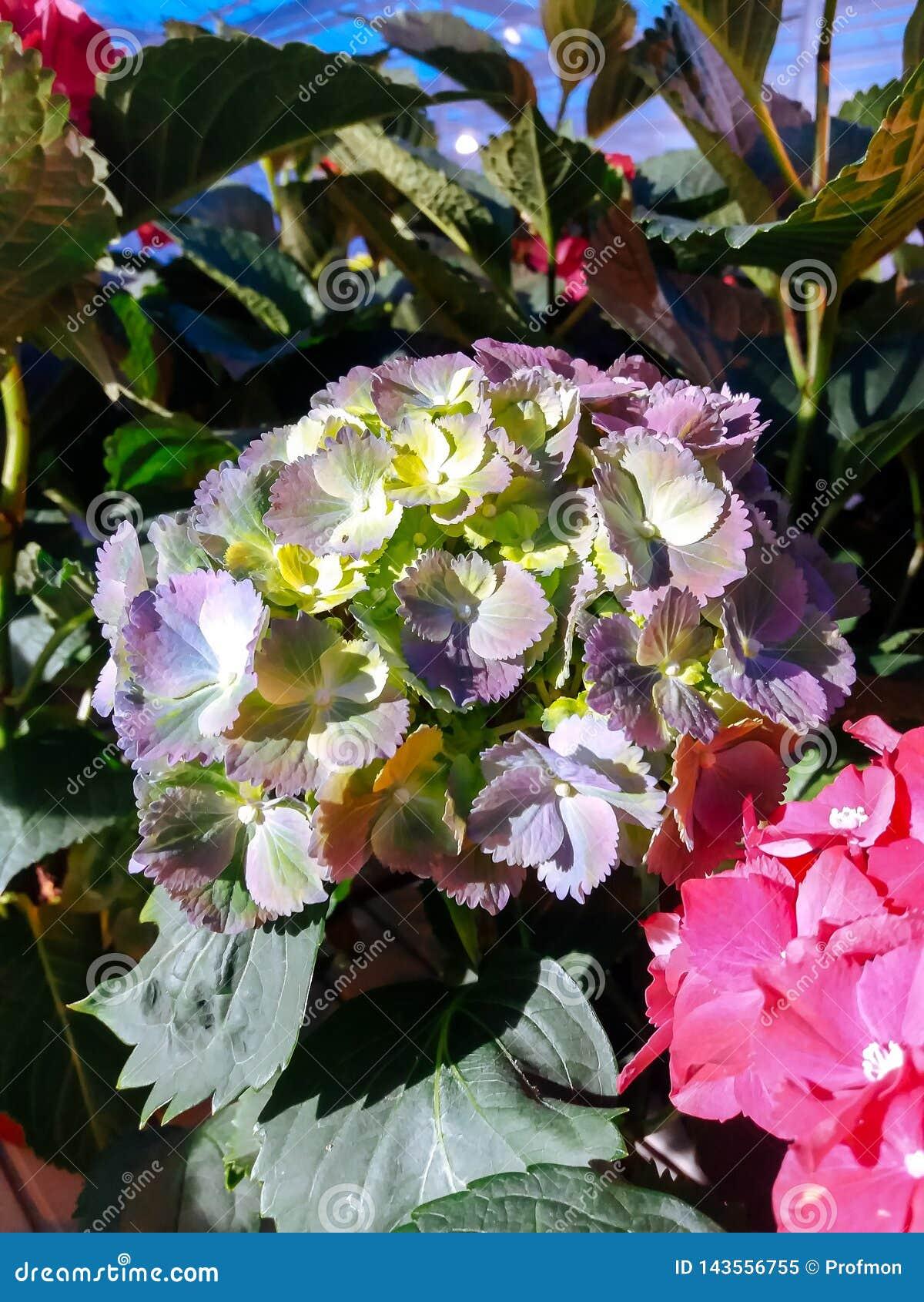 Культивируемый орнаментальный расти цветков в коммерчески plactic фольге покрыл парник садоводства