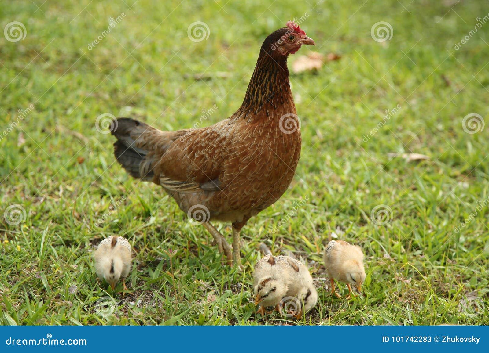 Курица и цыпленоки в Key West, Флориде