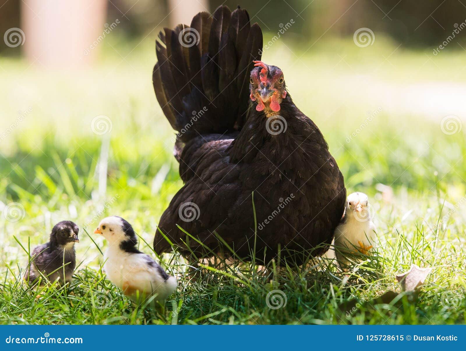 Курица с цыплятами младенца