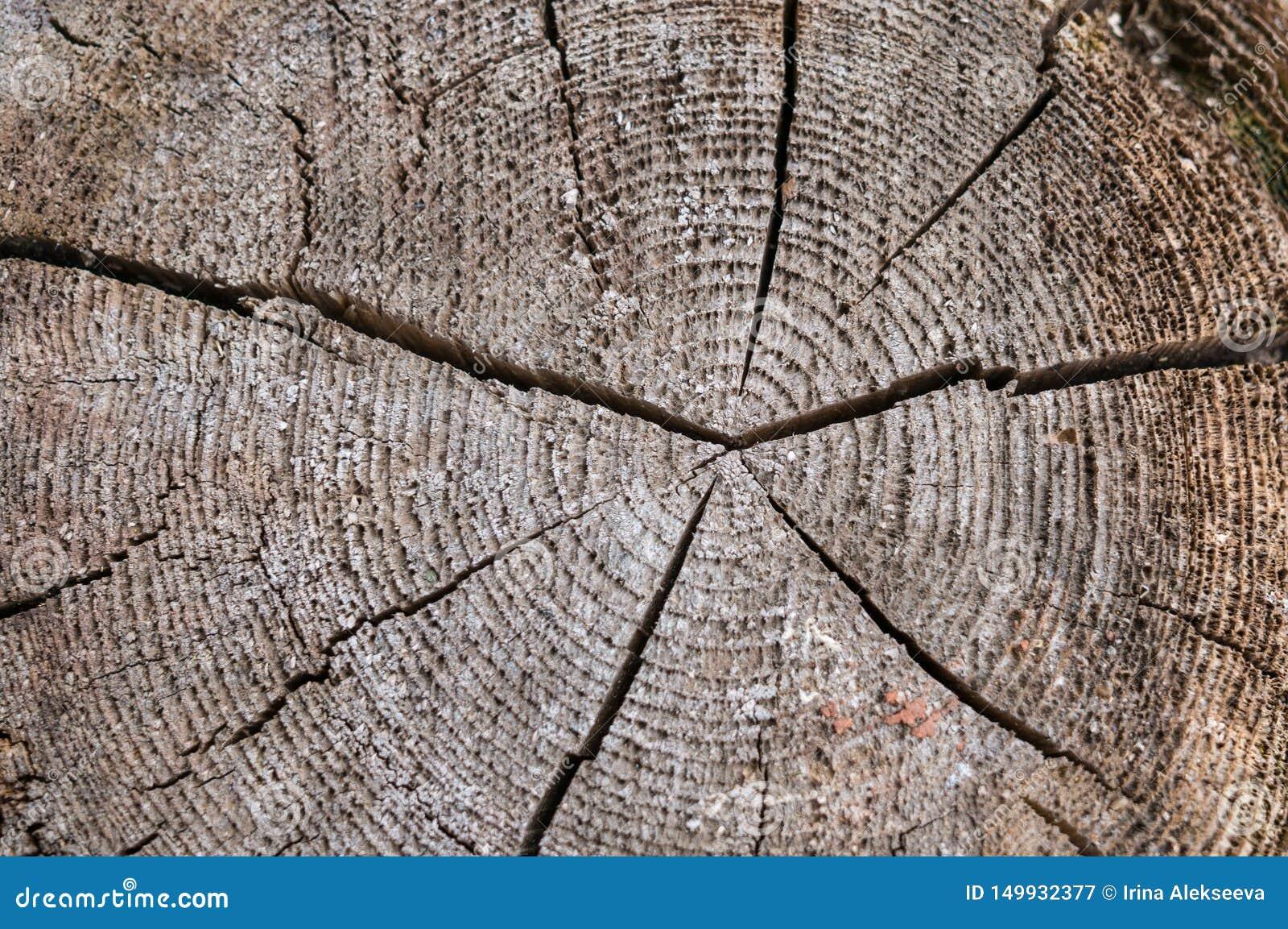 Кусок старого дерева с концентрическими ежегодными кольцами и отказом в центре Текстура старого дерева