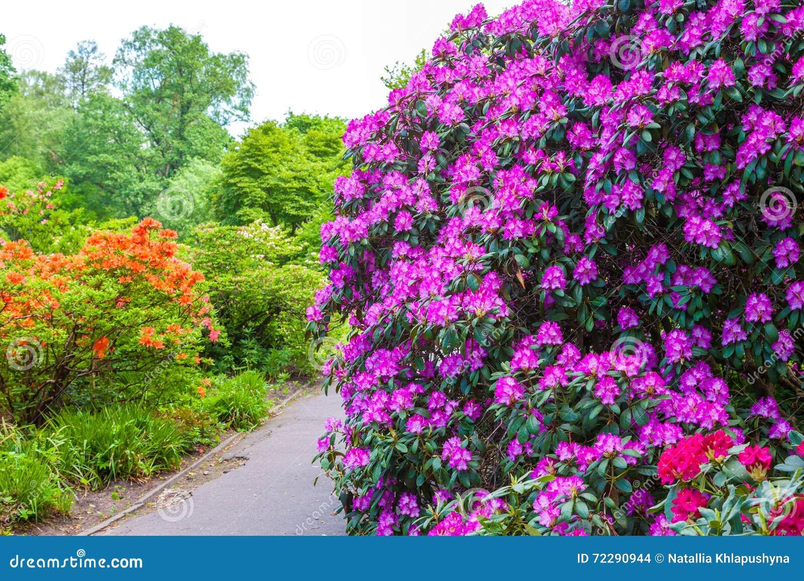 Download Кусты рододендрона на ландшафте сада Стоковое Фото - изображение насчитывающей environment, померанцово: 72290944