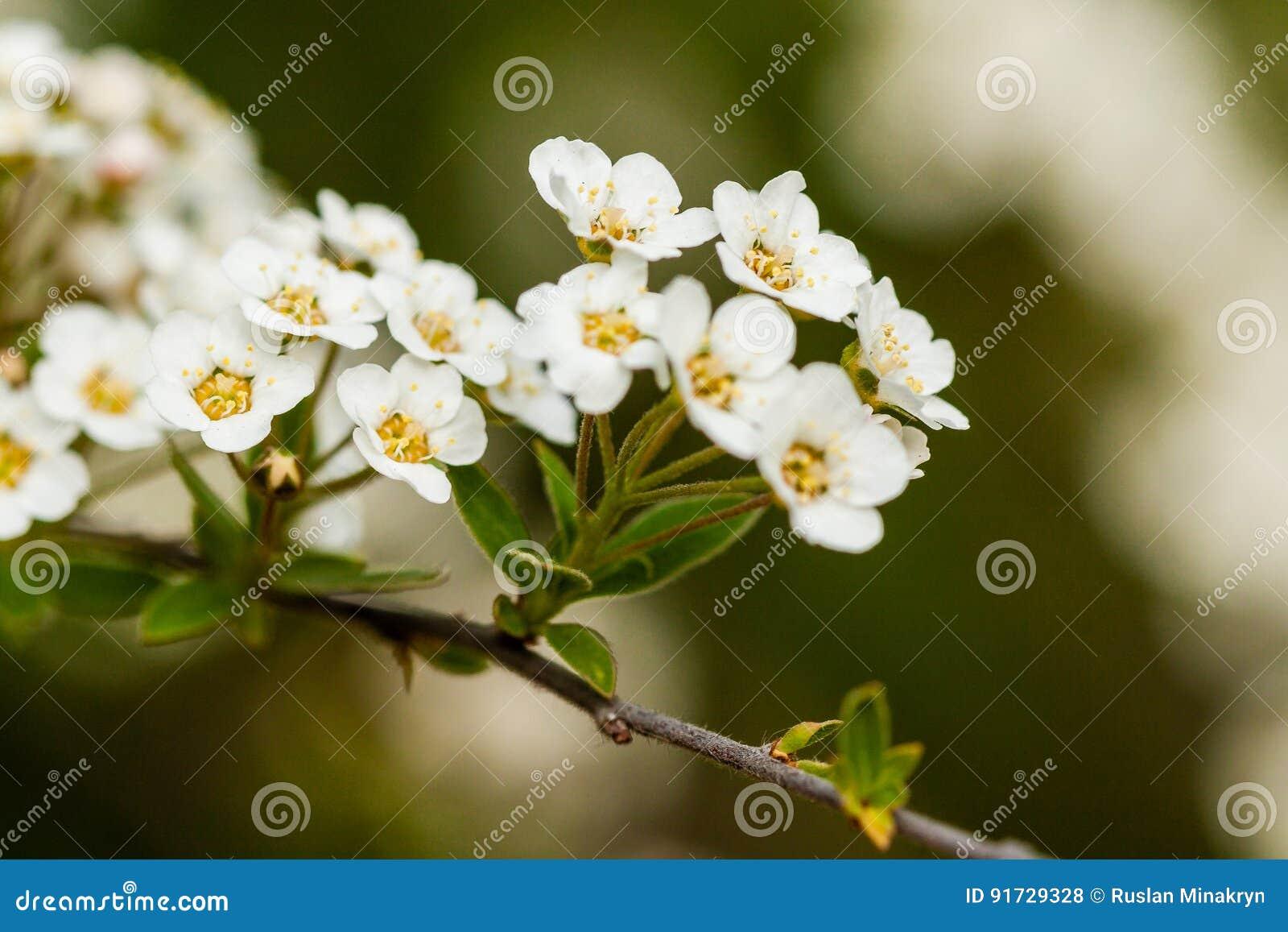 Куст макроса малых белых цветков на ветви