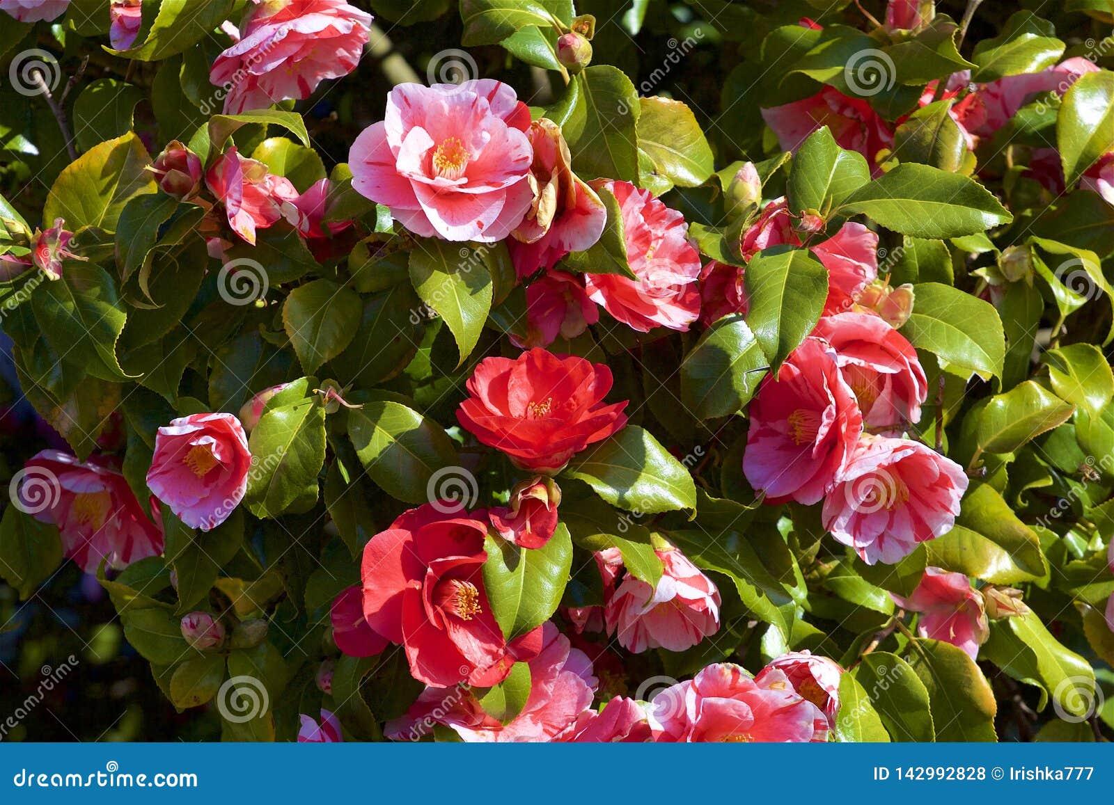 Куст роз в цветени