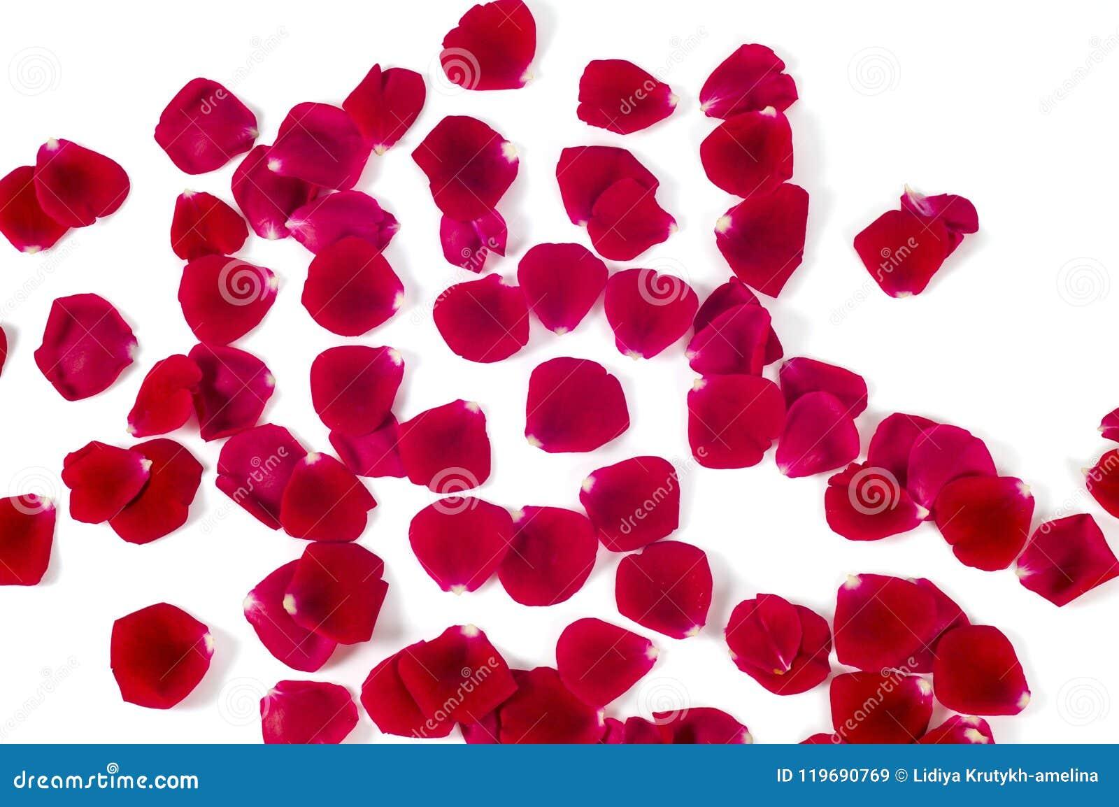 Куча лепестков красной розы изолированных на белой предпосылке