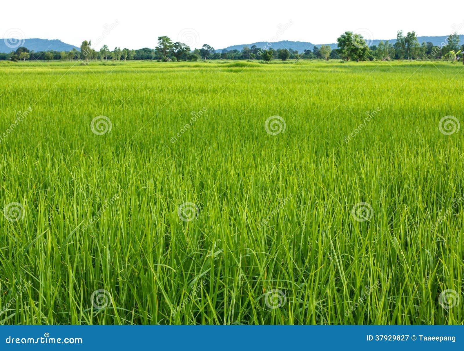 Культивирование риса